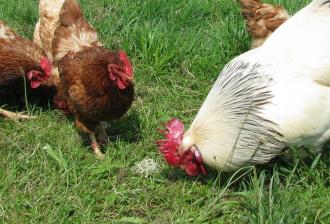 Mieux nourrir les animaux, un plus pour la santé des humains