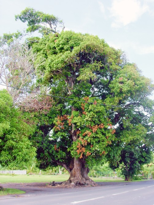 Le vieux manguier du temple de Mataiea en 2002. Photo Tahiti Heritage