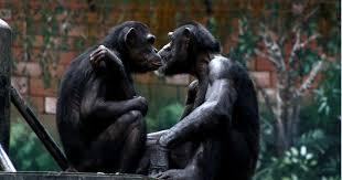 Carotte et bâton: des femelles singes incitent les mâles à aller au combat