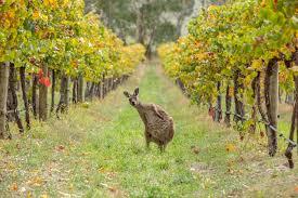 Climat: il y a le feu dans la vigne australienne