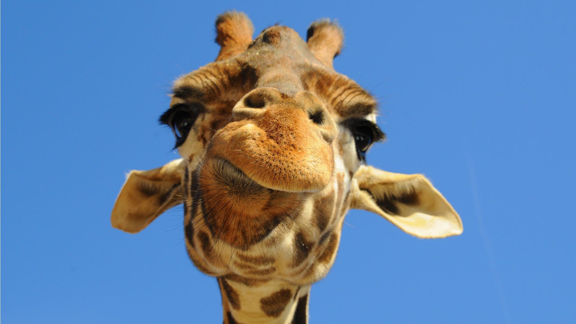Les girafes menacées d'extinction