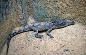 Oscar, bébé crocodile nain du zoo de Mulhouse: un mois et déjà chasseur