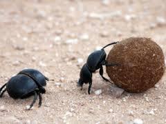 en australie des insectes fran ais pour se d barrasser des mouches envahissantes. Black Bedroom Furniture Sets. Home Design Ideas