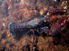 2.000 homards dérobés au Havre, la police lance un appel à témoins