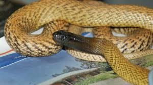 Australie: un septuagénaire décède après avoir été mordu chez lui par un serpent