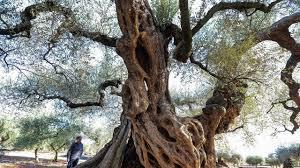 Les oliviers millénaires d'Espagne, ces trésors en danger