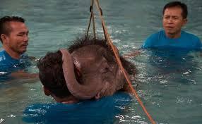 Une piscine pour réapprendre à marcher à un éléphanteau thaï amputé