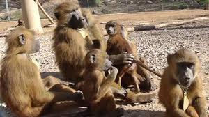 ɨ, æ, ɑ, o, u ... les babouins vocalisent les sons des voyelles