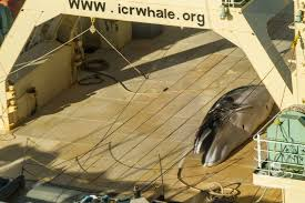 Un baleinier japonais pris sur le fait en Antarctique