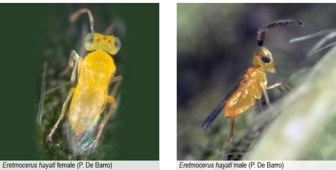 Cette micro-guêpe de moins d'un millimètre de longueur dévore de l'intérieur les nymphes de l'aleurode du tabac. Mais n'ayez pas pitié des aleurodes : cet insecte est le responsable des pénuries de tomates qui touchent la Polynésie depuis deux ans.