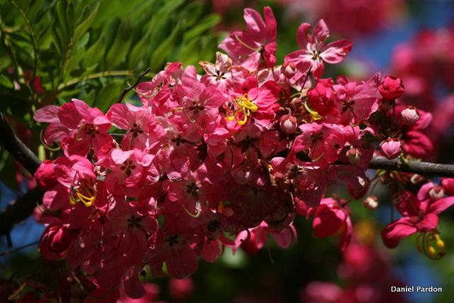 Cassia javanica x grandis