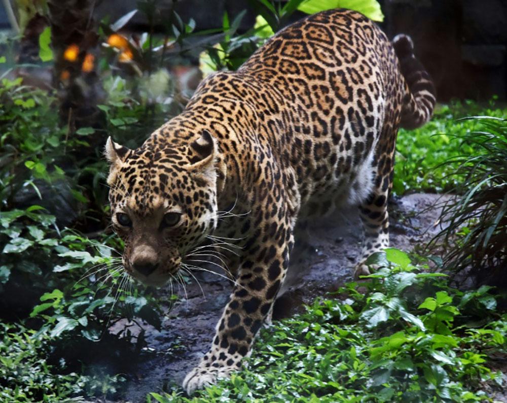 Des léopards rares filmés dans la jungle en Indonésie