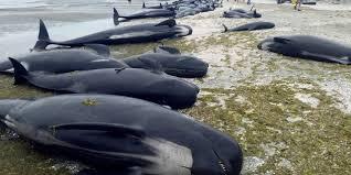 Des centaines de baleines meurent échouées en Nouvelle-Zélande
