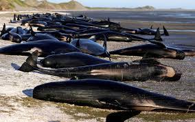 Baleines échouées en Nouvelle-Zélande: risques d'explosion des carcasses