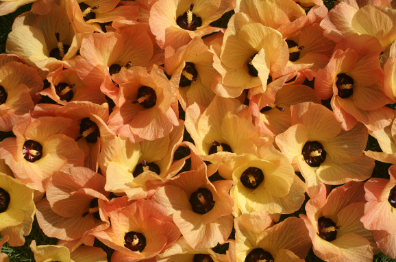 Hibiscus tiliaceus - Purau, hibiscus de mer