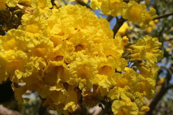 Tabebuia aurea - Tabébuia, poirier jaune