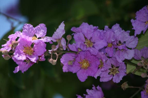 Lagestroemia speciosa  - Lilas d'été (variété mauve)