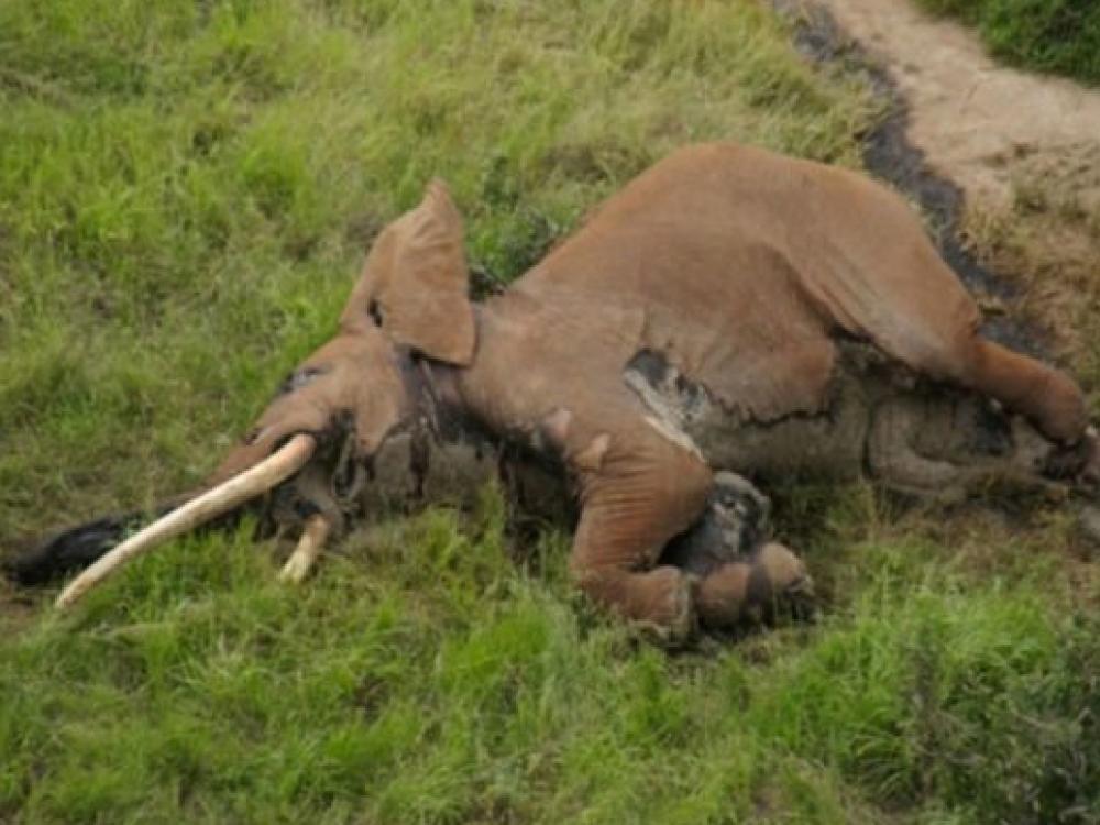 """Un des derniers éléphants aux """"défenses géantes"""" tué au Kenya"""