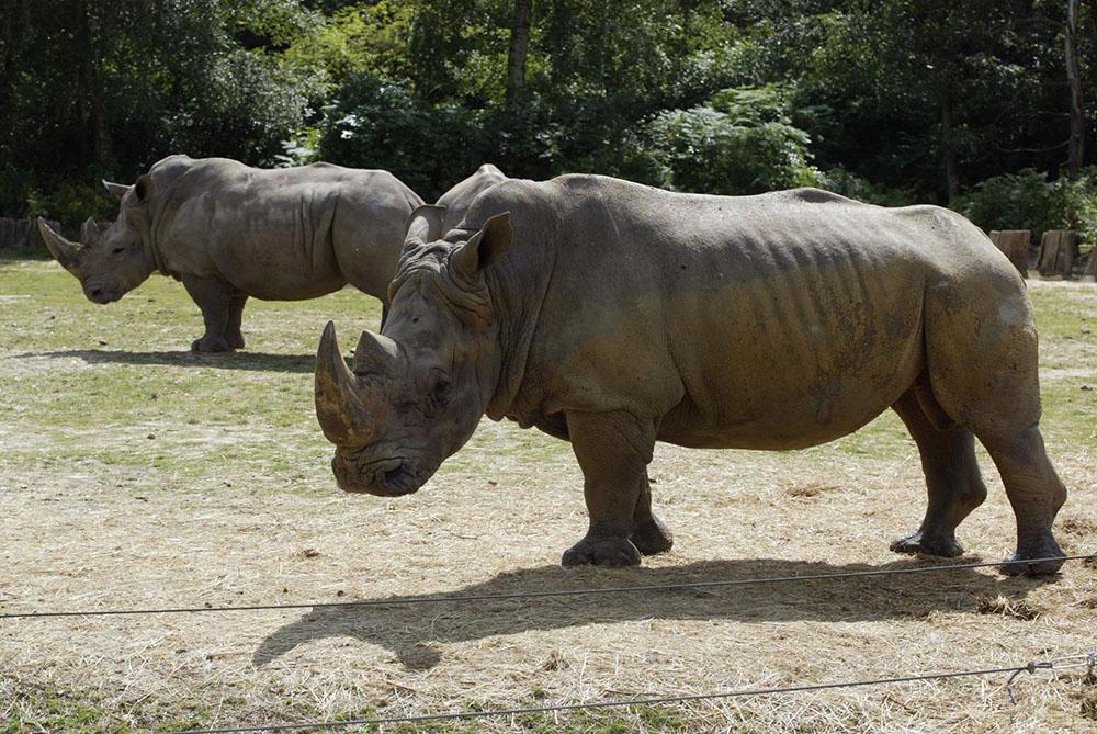 Un rhinocéros tué au zoo de Thoiry, sa corne sciée