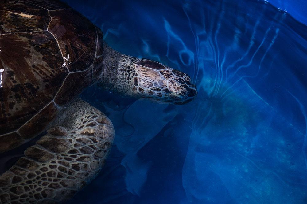 Thaïlande: la tortue aux 915 pièces de monnaie réapprend à nager