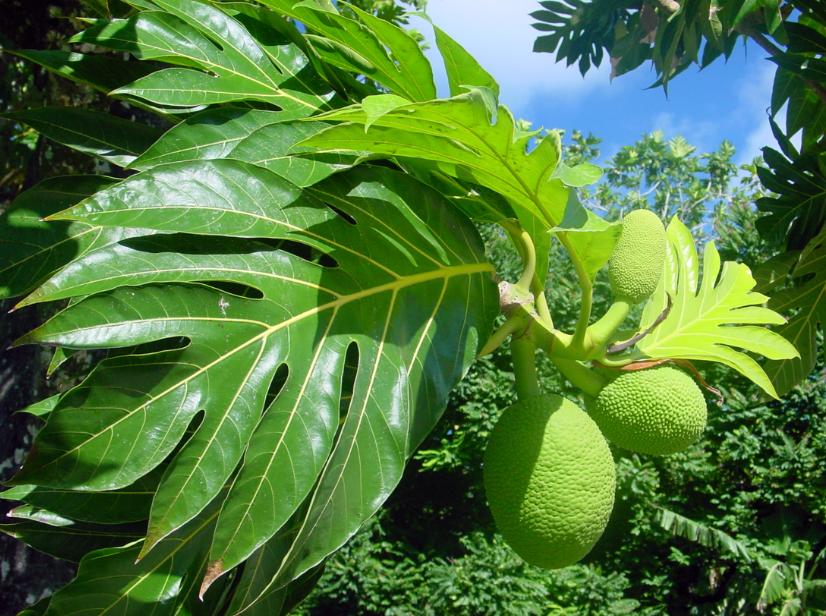 Uru, le fruit de l'arbre à pain