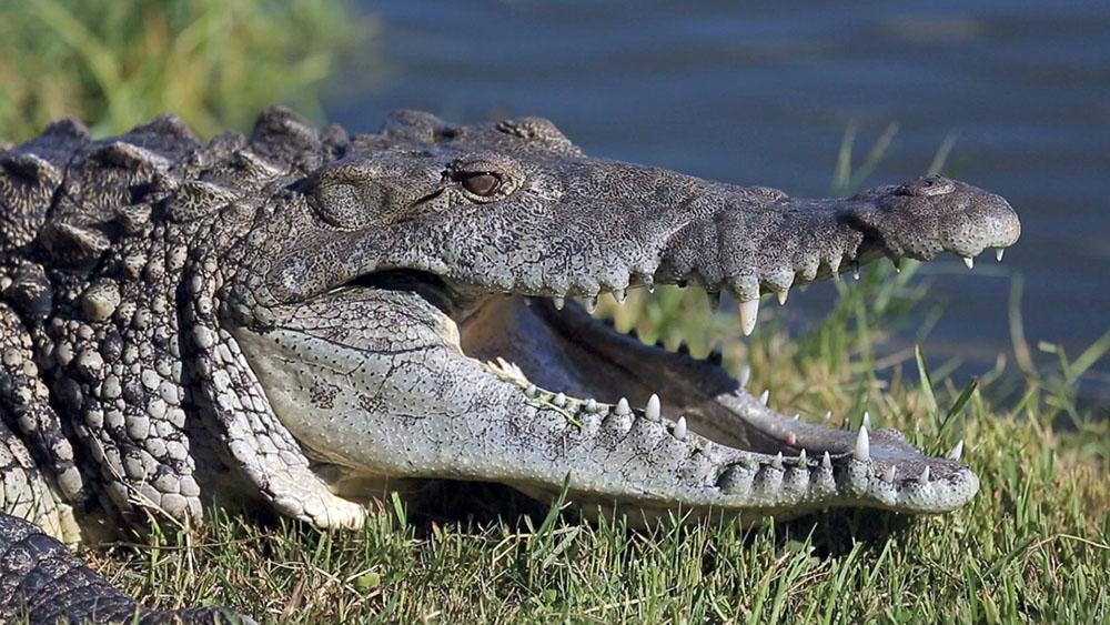 Un joueur de foot tué par un crocodile au Mozambique