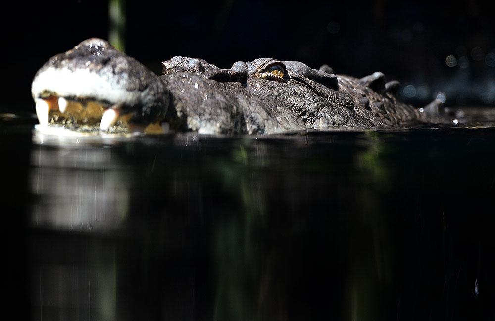 Australie: Un pêcheur vraisemblablement tué par un crocodile