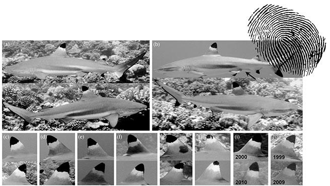 Les ailerons des requins à pointe noire permettent d'identifier les individus.