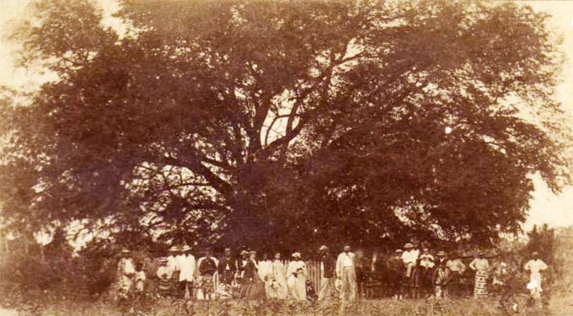 Le tamarinier planté par Cook à la pointe Vénus en 1880. Photo Hoane.
