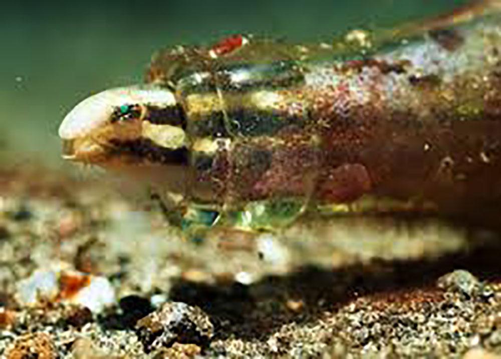 Le venin d'un petit poisson du pacifique source possible d'un nouvel antidouleur