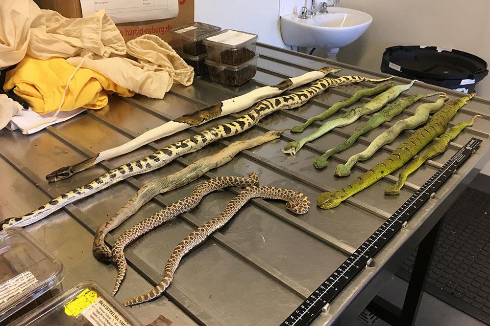 Australie: Pythons, tarentules et scorpions au courrier du jour