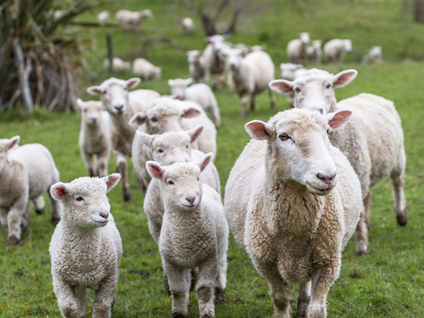D'un côté des barbelés et des murs de pierres, des moutons par dizaines de milliers. De l'autre, parqués, des Pascuans affamés.