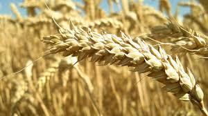 L'allergie au gluten peut être déclenchée par un virus