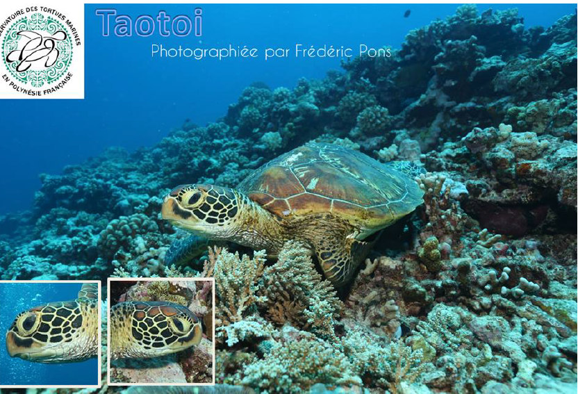 """Devenez """"photo-identificateur"""" de tortues en Polynésie"""