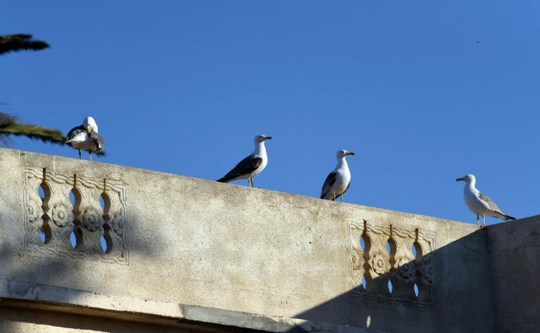 """A Alger, le """"rat du ciel"""" à l'assaut des terrasses"""
