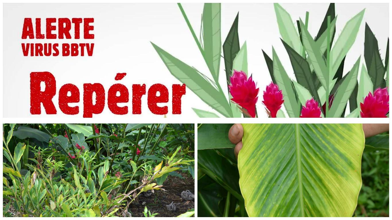 BBTV : l'envoi dans les îles des plantes-hôtes interdit