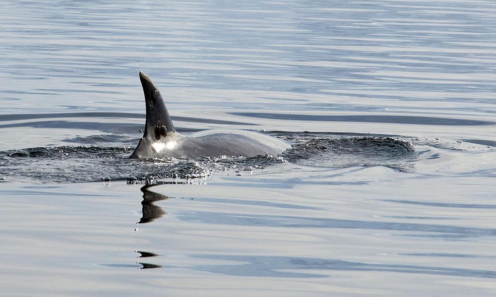 Bébé baleine chuchote pour échapper aux prédateurs