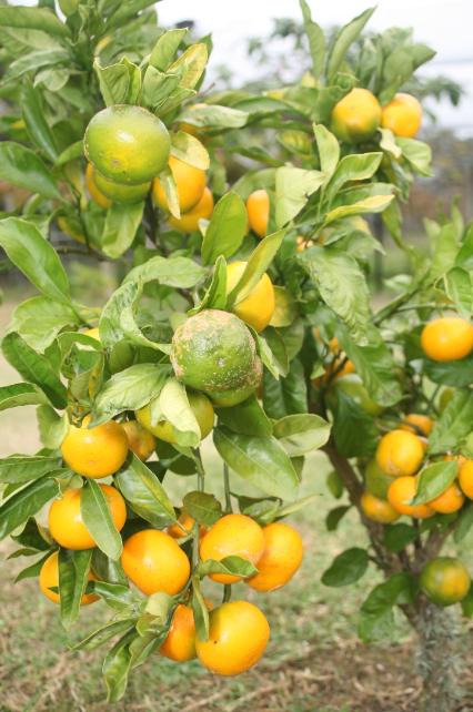 Kerikeri passe pour être le centre de la culture des agrumes ; oranges, mandarines (notre photo) et citrons.