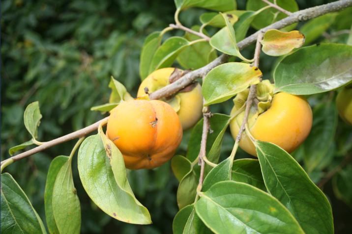 Le kaki est un fruit originaire de Chine, très largement cultivé au nord de la Nouvelle-Zélande.