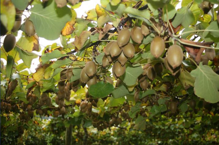 Symbole de l'agriculture néo-zélandaise, le kiwi, qui pousse sur des treilles, un peu comme la vigne.