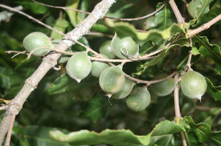 Rares à Tahiti, plus fréquents en Australie et à Hawaii, le macadamia est de plus en plus cultivé en Nouvelle-Zélande.