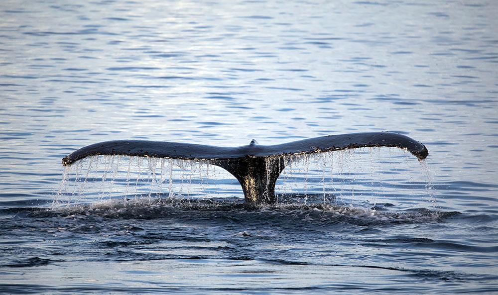 Mortalité inhabituelle de baleines à bosse sur la côte atlantique américaine