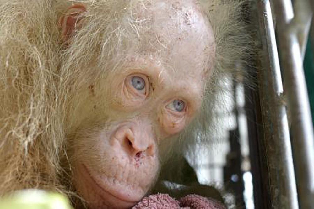 Un orang-outan albinos aux yeux bleus secouru à Bornéo