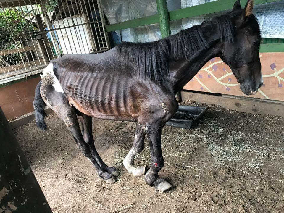 Manatea, anciennement nommé Django, est toujours aussi maigre et accumule les escarres et de nouvelles blessures aux boulets. Les habitués de l'hippodrome dénoncent un acharnement thérapeutique et demandent qu'on abrège ses souffrances, mais les bénévoles qui s'occupent de lui assurent qu'il va mieux et qu'il a encore la volonté de vivre.
