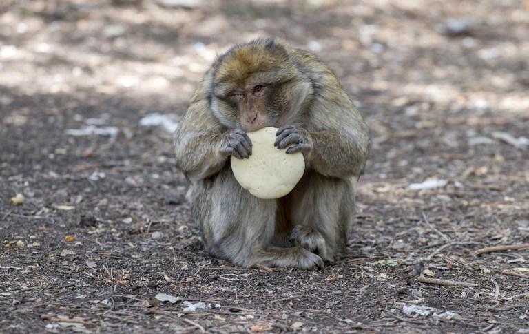 Landes: quelque 150 macaques porteurs d'un herpès mortel pour l'homme euthanasiés