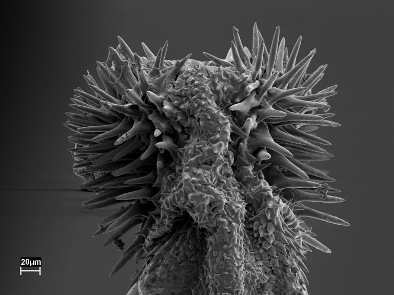 Les accouplements de plus en plus glaçants de certains coléoptères