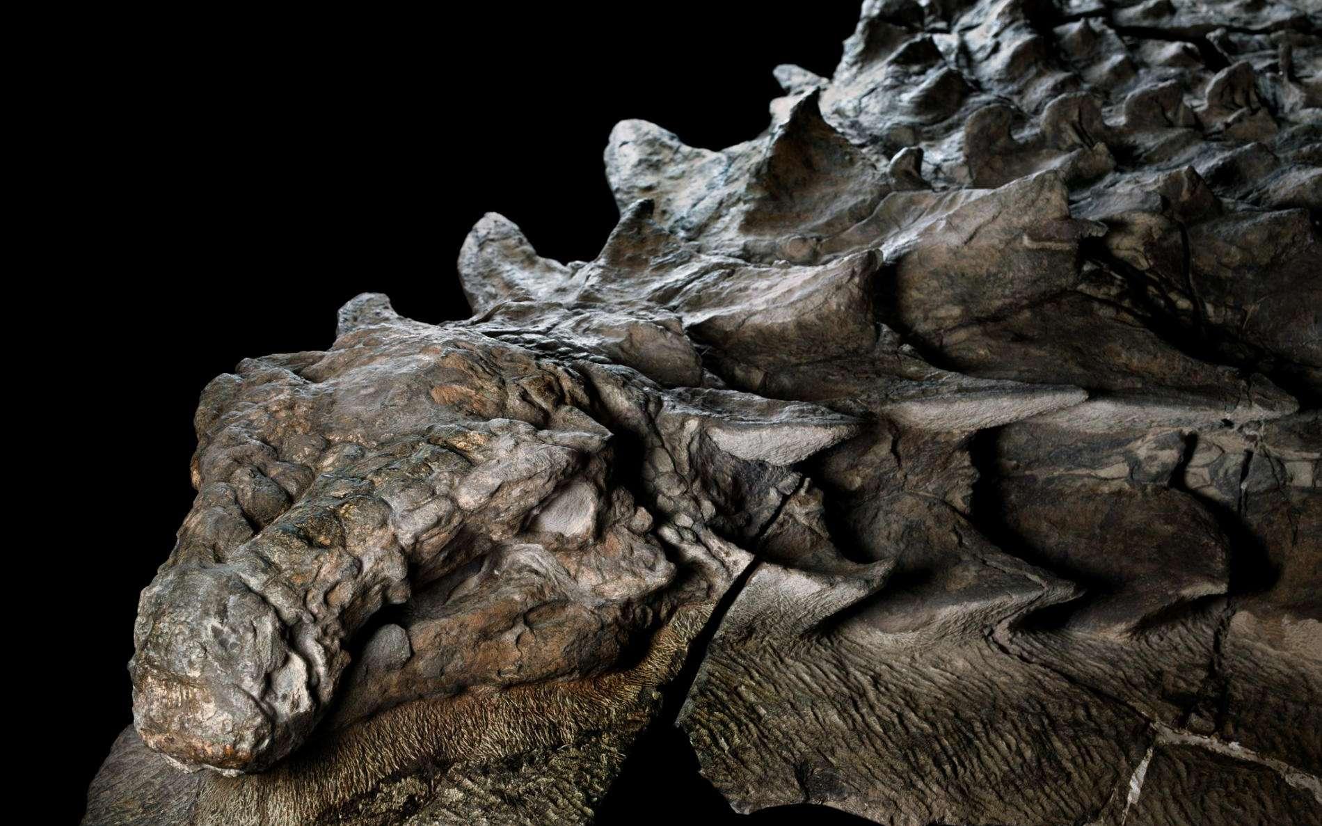 Page enfant : Un nodosaure en excellent état de conservation exposé au Canada