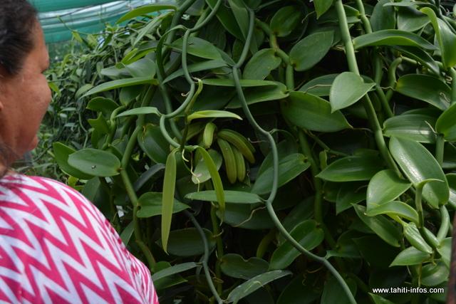 Dans leur serre située à Faa'a, on peut retrouver plusieurs variétés de vanille locale. Dont, celle-ci en forme de banane.