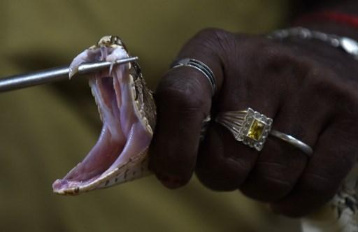 En Paca, pénurie d'antivenins contre les morsures de vipère