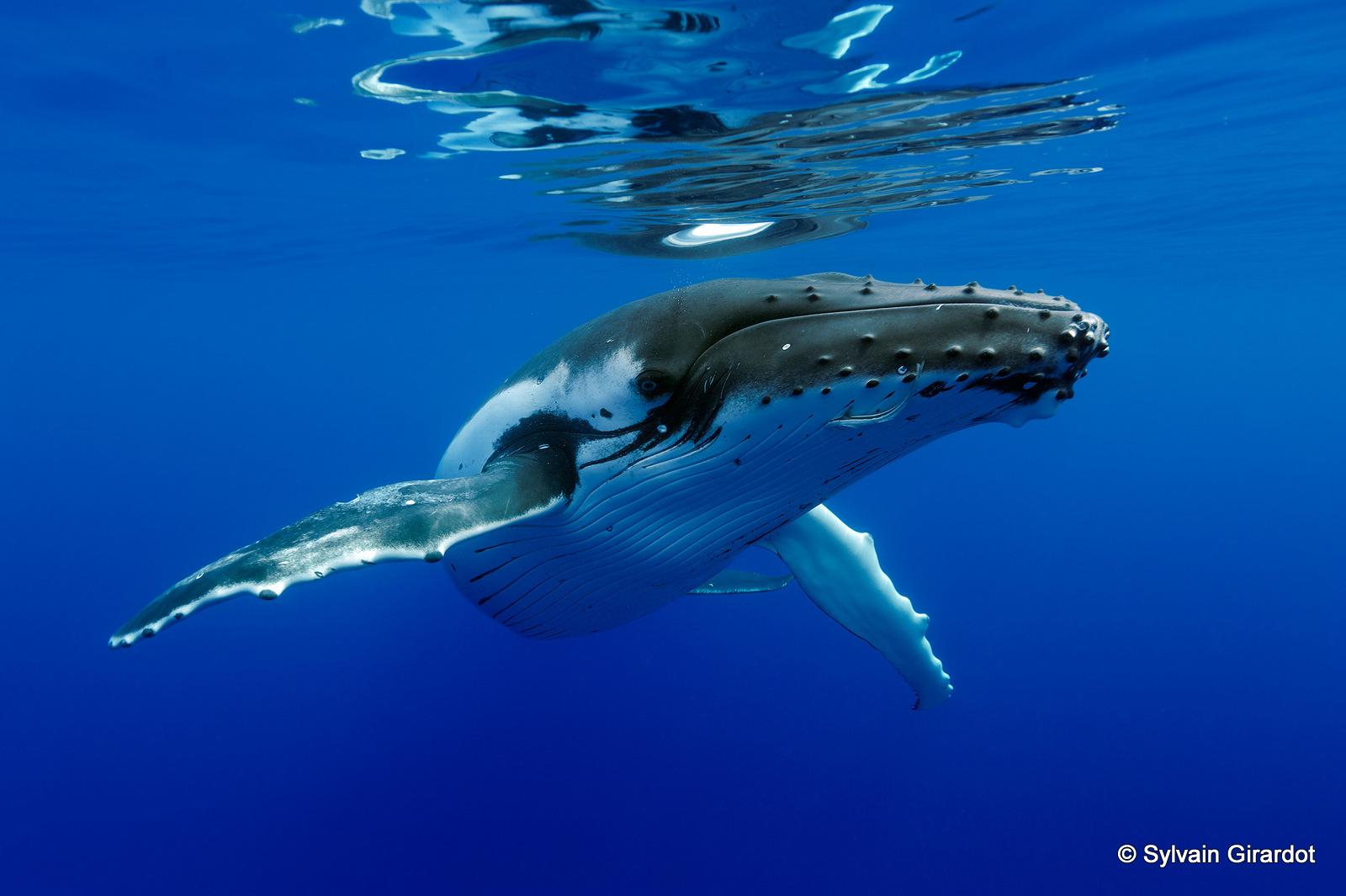 les-baleines-de-polynesie